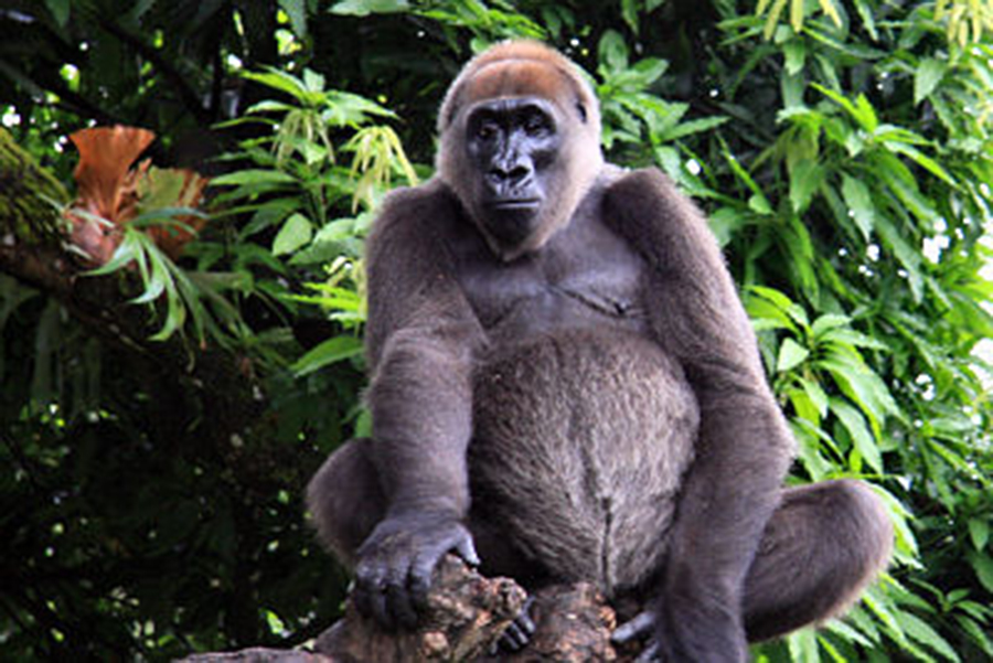 Cross River gorilla. ©Arend de Haas, African Conservation Foundation